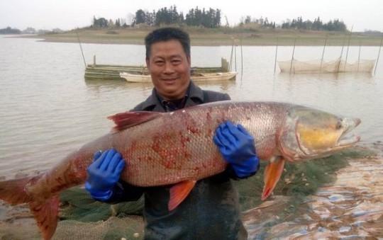 """江西渔民捕获""""水老虎"""" 身长过1米重70斤"""