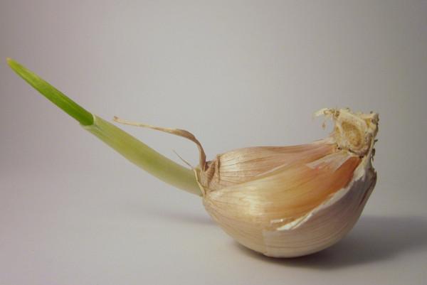 大蒜发了芽再吃 抗癌功效增10倍