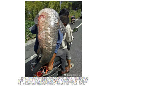 陝西水庫洩洪 村民撿到25公斤大魚 網友熱議