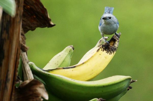 黄香蕉、绿香蕉的差别到底在哪里