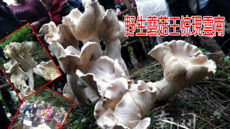 云南惊现野生蘑菇王 3天疯涨83.5厘米