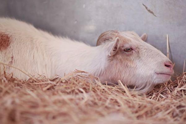 獲救山羊6天不吃東西 牠的心結原來是……結局超暖!