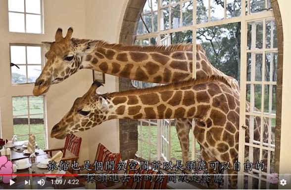 长颈鹿早上会叫人起床 世界上让人惊喜的5个旅馆(视频)