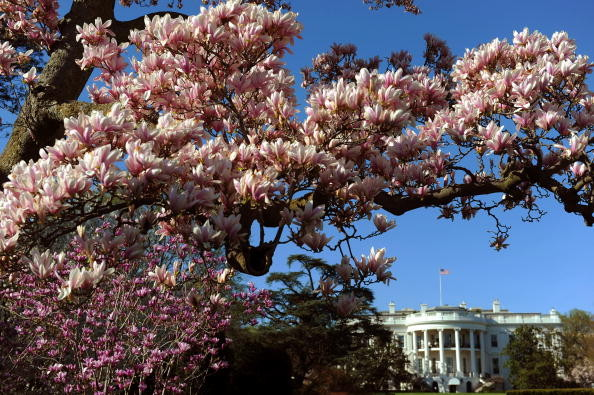 曾是白宮歷史標誌  200歲木蘭老樹腐蝕嚴重將被砍