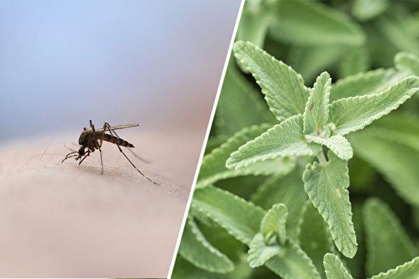 這個夏天不想被蚊子咬?7種常見植物能驅蚊