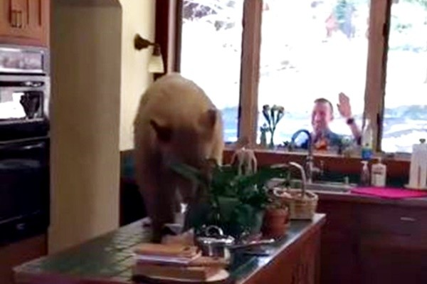 加州巨熊擅闯民宅 悠坐厨房觅食充饥(视频)