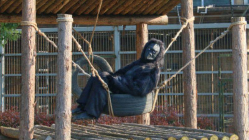 江蘇動物園人扮「假猩猩」 遊客:我花錢來看這個?