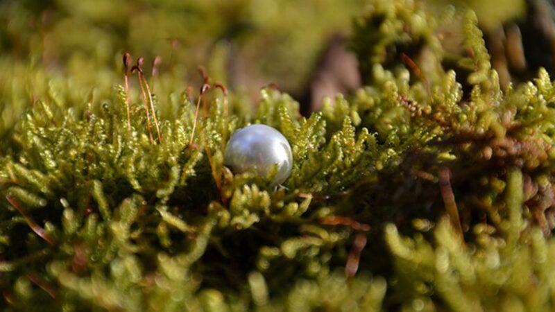 世上最古老珍珠亮相 有8000年歷史