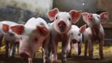 中国科学家创猪猴混种动物 国际科学家谴责