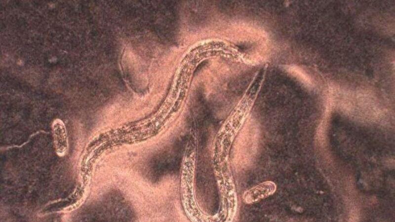 魔鬼蟲基因揭示其耐熱秘密