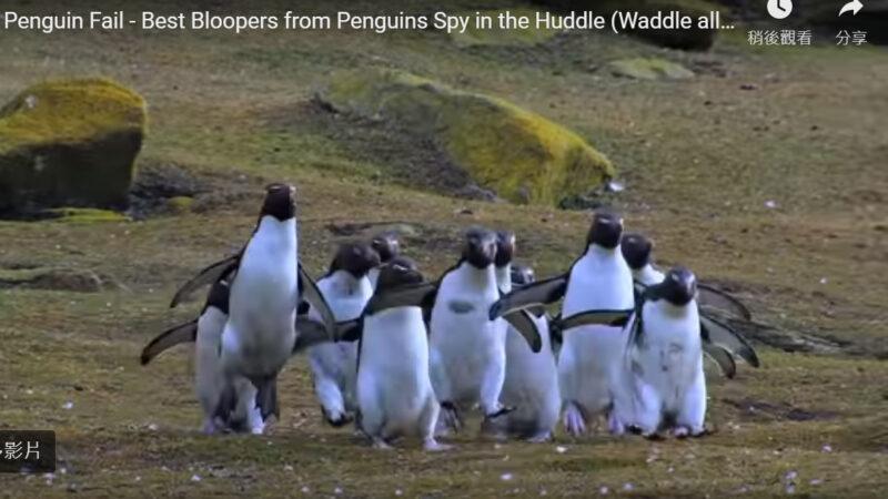 好萌!胖企鵝跌倒笑料多(視頻)