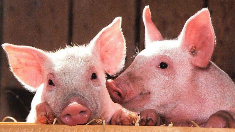 猪瘟催生价格暴涨 河南养猪大户身价反超王健林