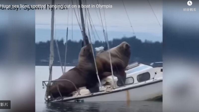 两只胖海狮跳上小船玩耍 差点沉船(视频)