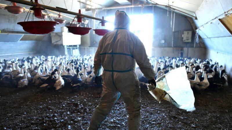 中国疫情连环爆 新疆现高致病禽流感疫情