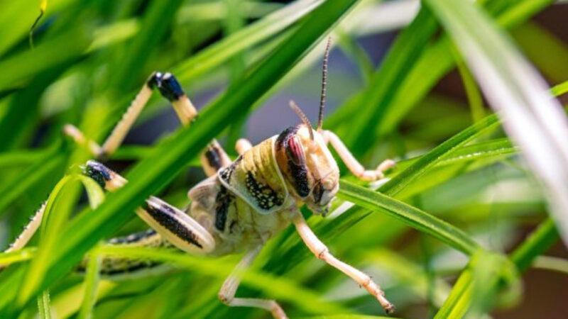 上天有眼下蝗蟲雨 蝗蟲侵襲也長眼睛?(組圖)