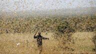 4千亿蝗虫直逼中国 犹如186艘航空母舰横扫
