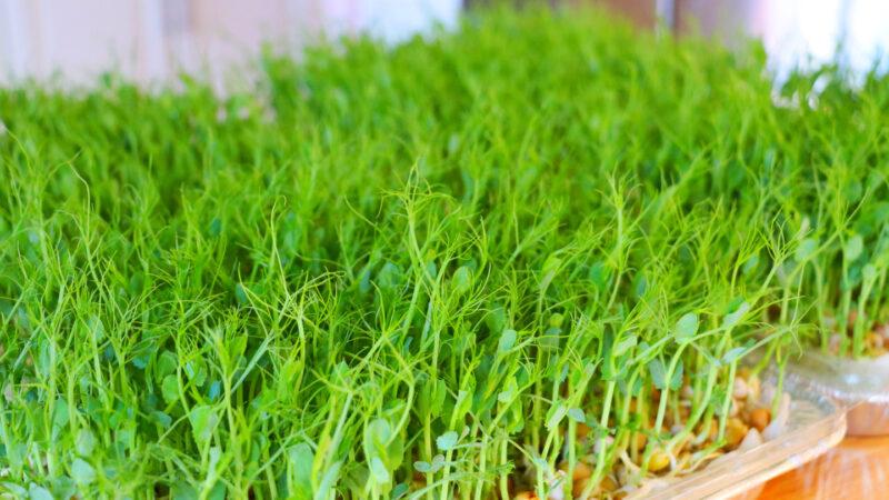 【美食天堂】無土種植豌豆苗的方法~和清炒豆苗食譜~簡單易學!太美味了!家常料理食譜 一學就會