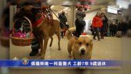俄罗斯唯一柯基警犬 工龄7年 9岁退休