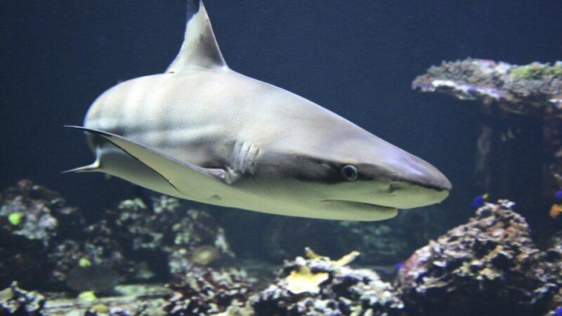 美国猛禽抓大鱼低飞 网民:那是鲨鱼吗?(视频)