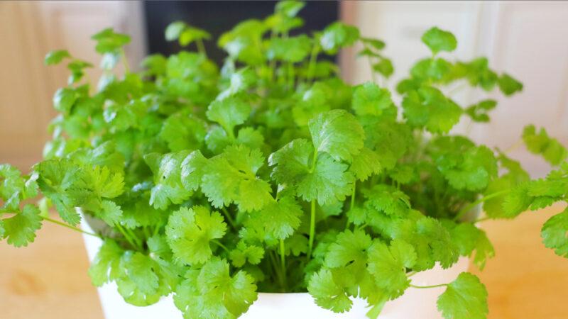【美食天堂】室內快速種植香菜的方法~什麼季節都可以種!家常料理食譜 一學就會