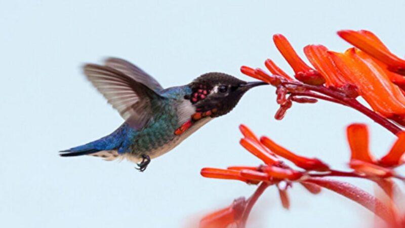 世界上最小的鸟 如宝石般的吸蜜蜂鸟(组图)