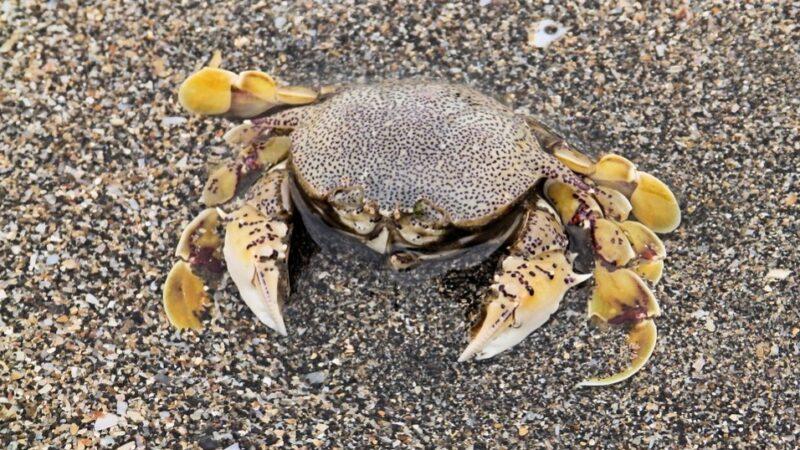 道学渊博 螃蟹遇他也正行