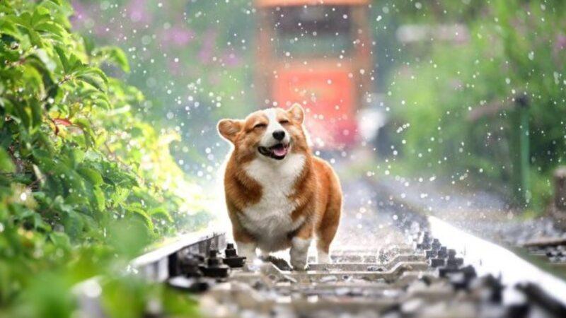 狗界影帝? 这只日本柯基犬的表情超有戏(组图/视频)