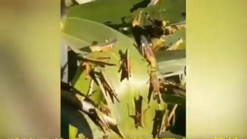 黄脊竹蝗入侵云南 波及13.5万亩地