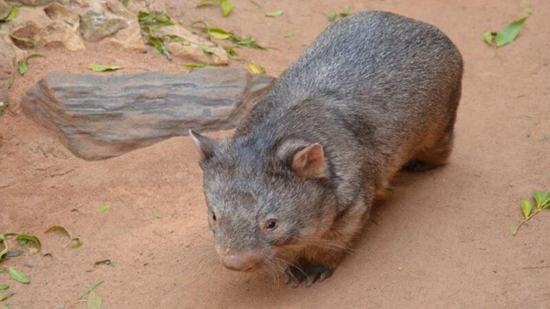 科学家在澳洲发现神秘新动物:比现代袋熊大四倍