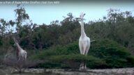 肯亚罕见白色长颈鹿母子遭猎杀 仅剩一只(视频)