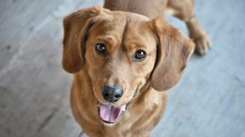 秘魯流浪狗在街上討食 意外獲得警察局肥缺