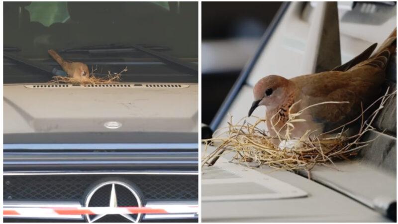 斑鳩夫婦豪車上築巢 迪拜王子一個動作獲熱讚