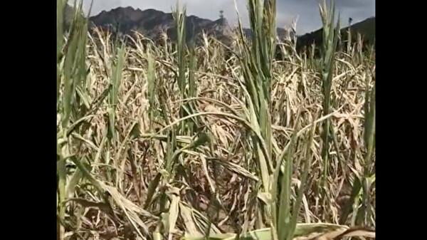辽宁西部旱灾 农作物大面积绝收 树木凋零