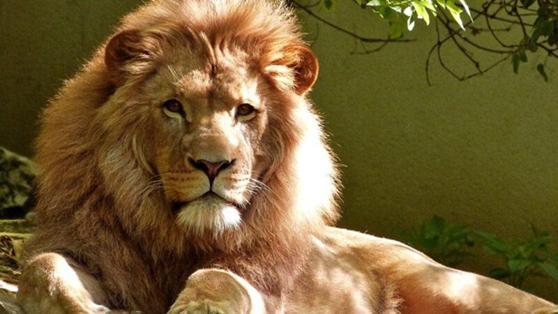 男子午睡突被壓醒 驚見一頭獅子趴胸口狠瞪他