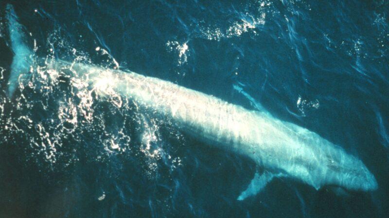 百年来第3次! 25米长蓝鲸现踪悉尼海岸