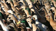 泰国上万只鸭子冲入稻田吃害虫 场面壮观