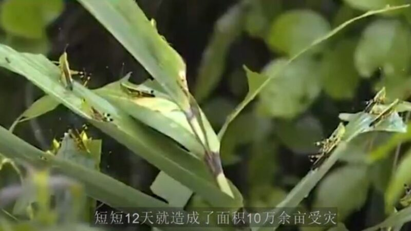 瘟疫水災後蝗災又來 中國或爆嚴重糧食危機