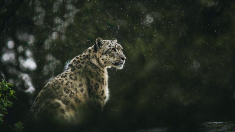 美3個月大小雪豹首次亮相 網友直呼心被融化了