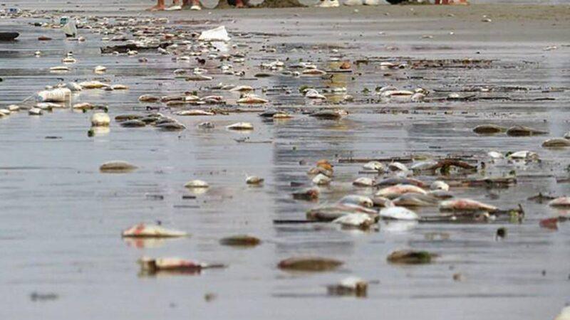 异象!广西海滩死鱼绵延8里 数量还在增加(视频)