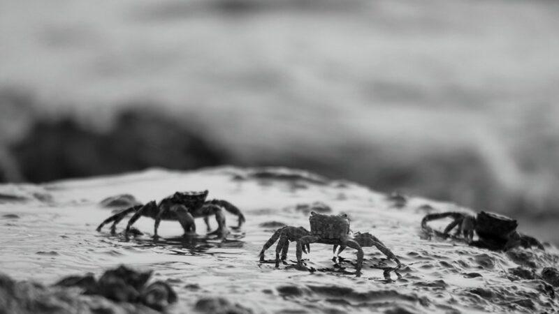 五中全会前异象频现 江泽民老家上万螃蟹上岸