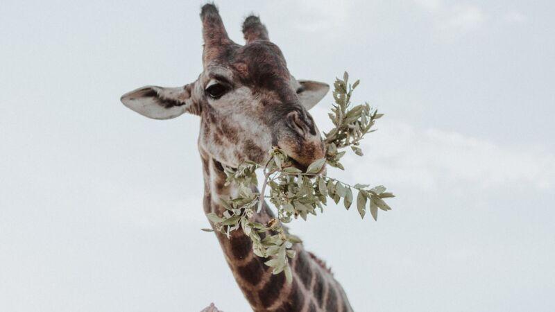 長頸鹿吃草得「開合跳」! 7秒短片逾千萬人觀看