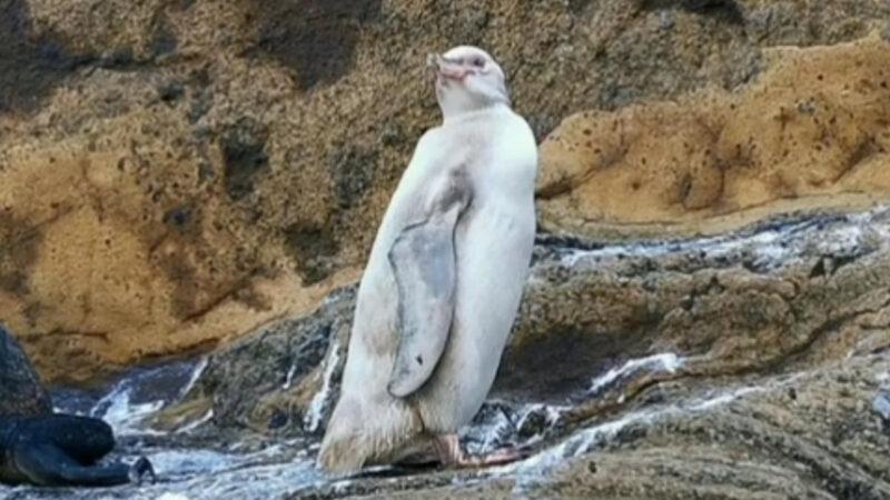 黑色燕尾服不見了? 白企鵝首現厄瓜多爾國家公園
