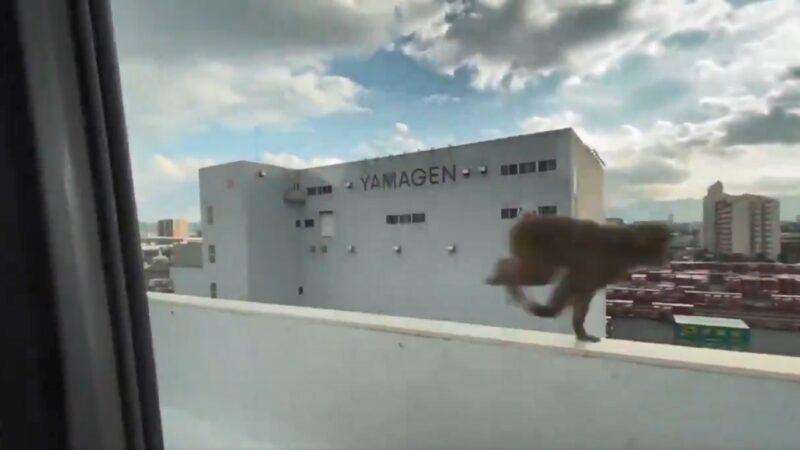 猴子大闹日本福冈天神区 与30名警员对峙(视频)