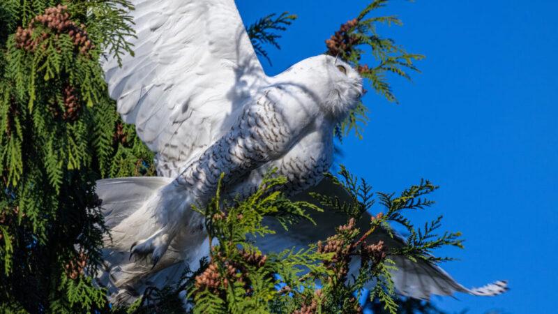 组图:罕见白色猫头鹰现踪华盛顿州