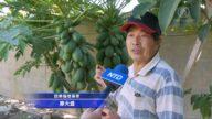 木瓜健脾促消化 種植專家:注意澆水保暖