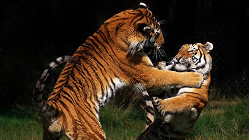 看保护区内两只老虎争地盘 游客惊叹