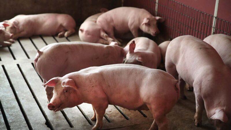 中國四川和湖北再爆非洲豬瘟