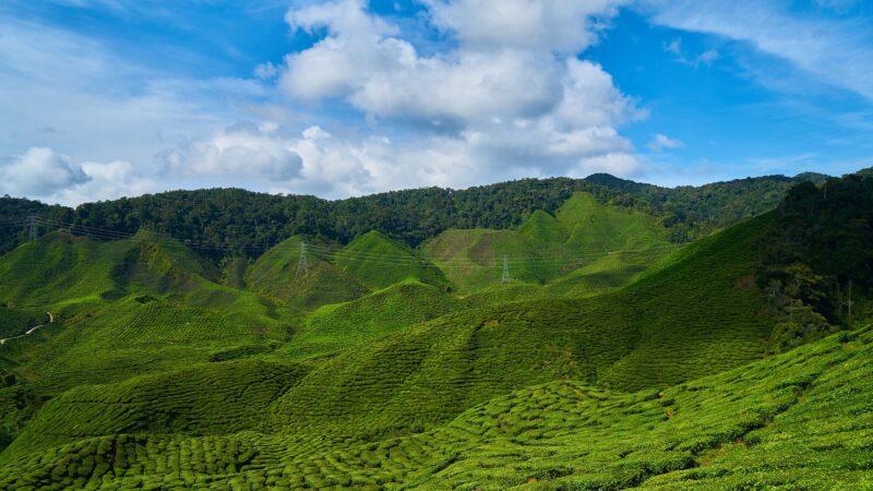 48万一斤 天价茶屡禁不止 重创茶企茶农