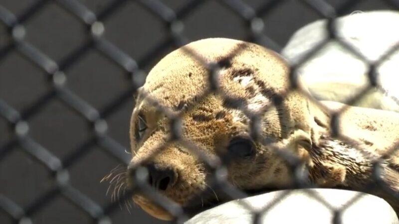 海水有毒 加州海狮患泌尿生殖癌概率剧增