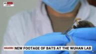 影片曝光打臉世衛專家!武漢實驗室飼養活蝙蝠